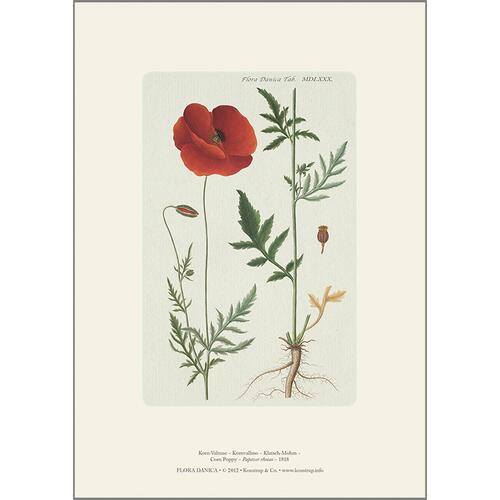 ART PRINT A4 - Corn poppy