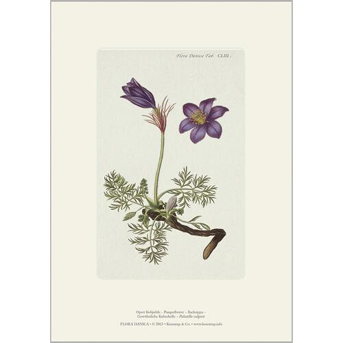 ART PRINT A4 - European pasque flower