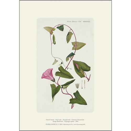 ART PRINT A4 - Hedge bindweed