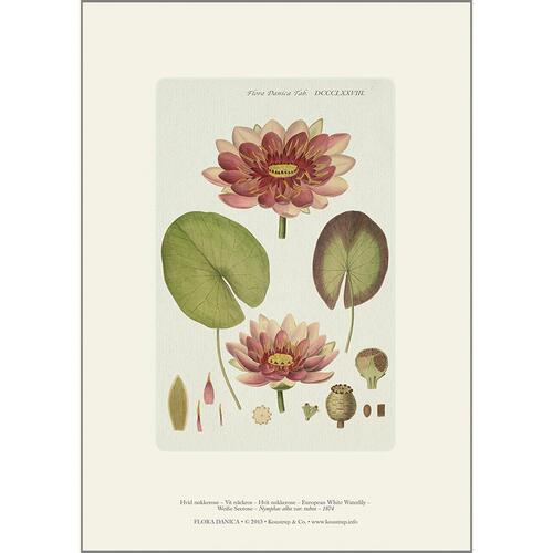ART PRINT A4 - European white water lily