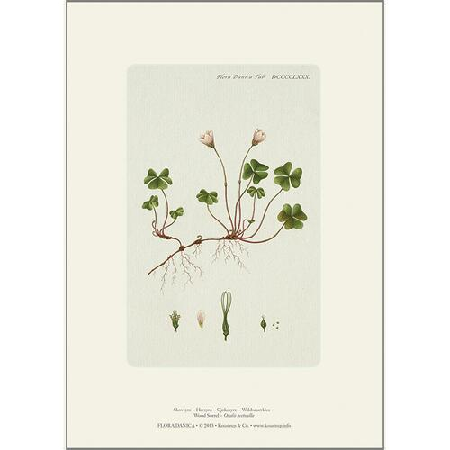 ART PRINT A4 - Wood sorrel