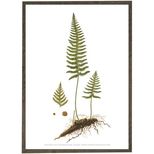 COMMON POLYPODY - ART PRINT A2
