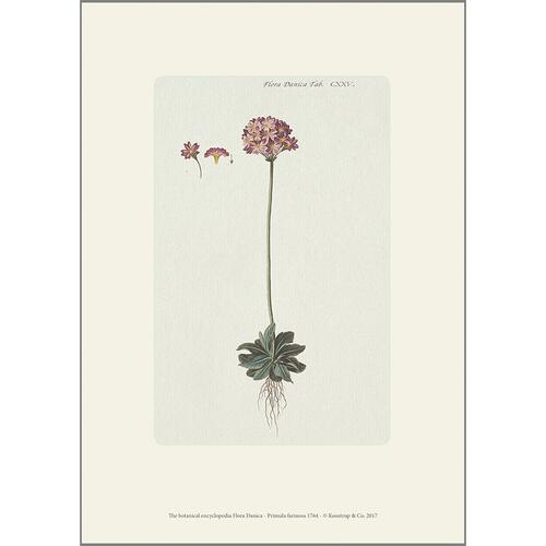 ART PRINT A4 - Bird's-eye primrose