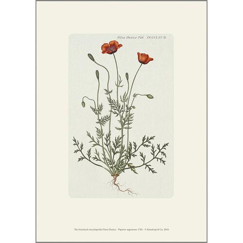 ART PRINT A4 - Prickly Poppy