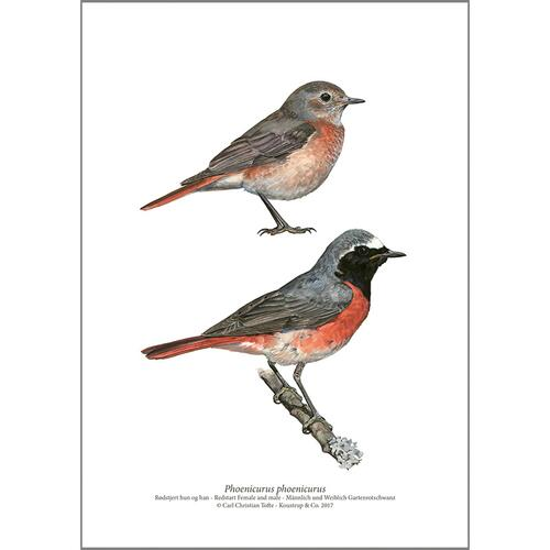 ART PRINT A4 - Common redstart