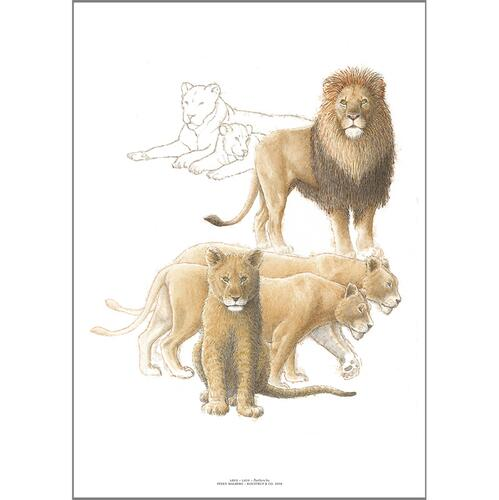 ART PRINT A3 - ZOO Lion
