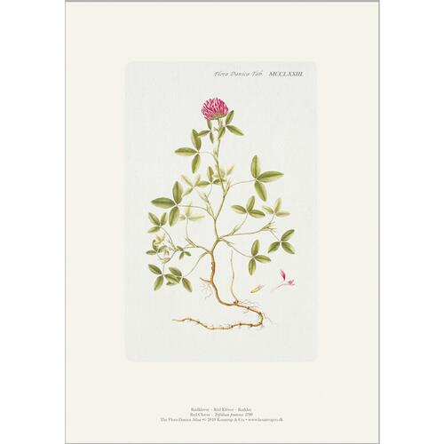 ART PRINT A4 - Red clover