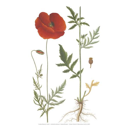 CORN POPPY - ART PRINT A2