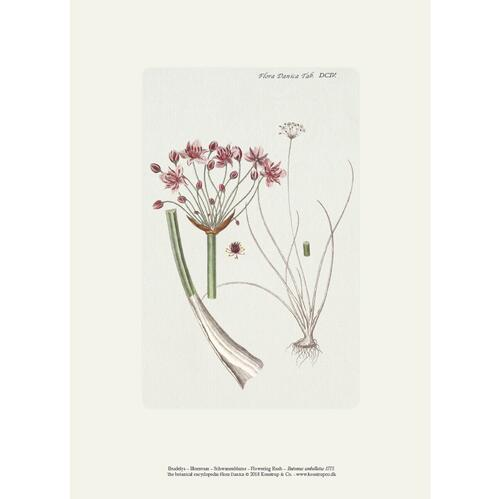 ART PRINT A4 - Flowering rush