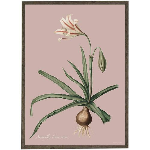 ART PRINT - Amaryllis Broussonnetti - CHOOSE SIZE