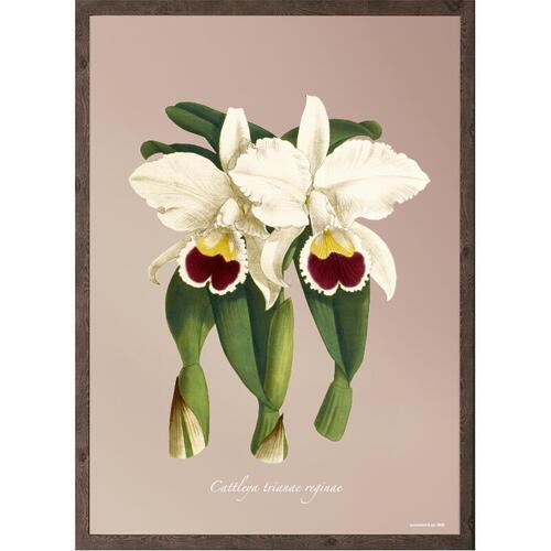 ART PRINT - Orchid Cattleya trianae - CHOOSE SIZE