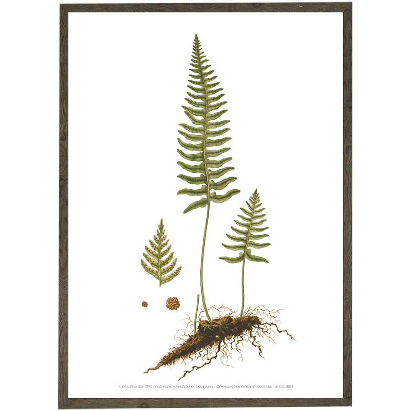ART PRINT A2 - COMMON POLYPODY