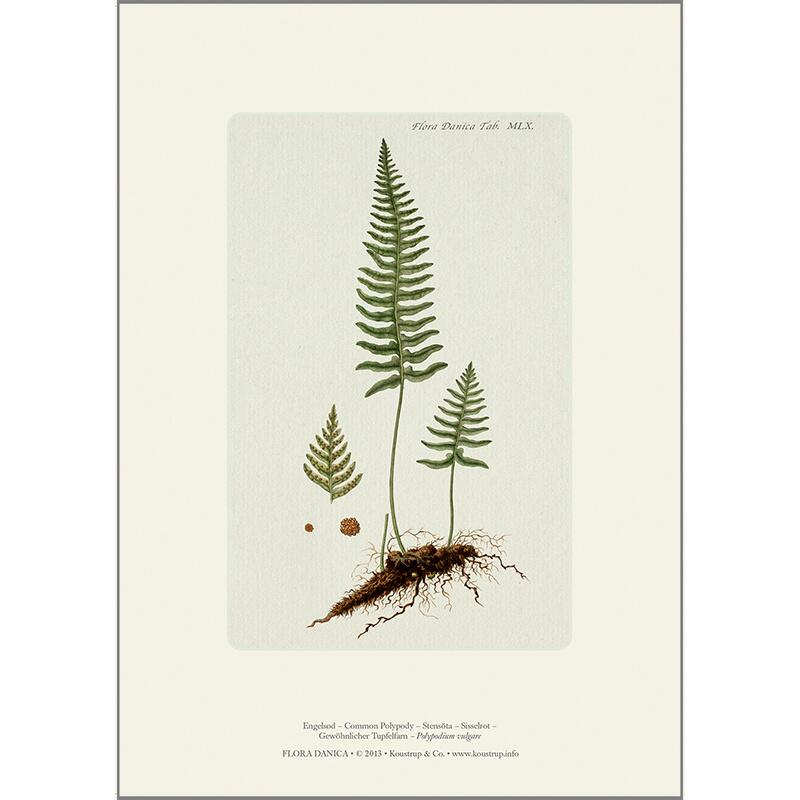 ART PRINT A4 - Common polypody