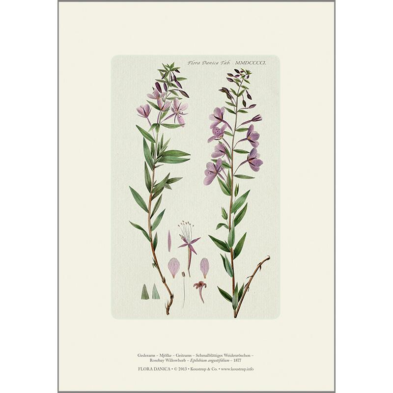 ART PRINT A4 - Rosebay willowherb
