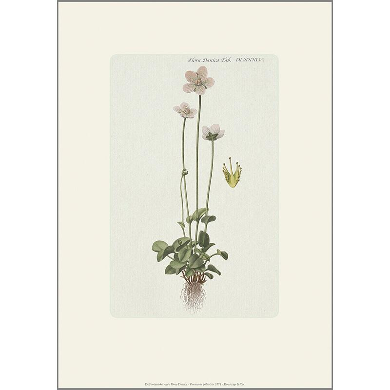 ART PRINT A4 - Grass of parnassus