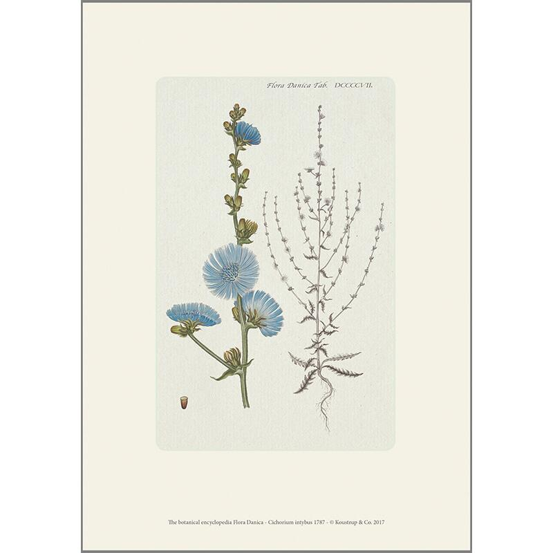 ART PRINT A4 - Common chicory