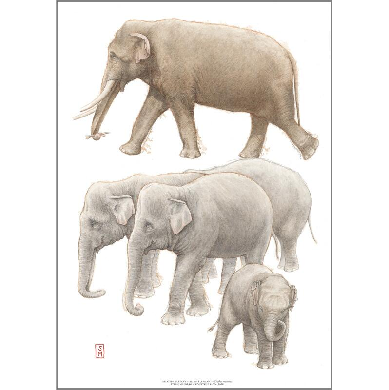 ART PRINT A3 - ZOO Asian Elephant