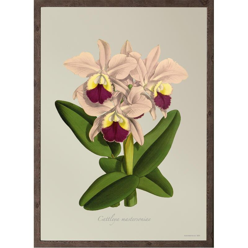 ART PRINT - Cattleya mastersoniae - CHOOSE SIZE