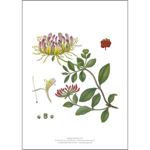 ART PRINT A4 - Honeysuckle