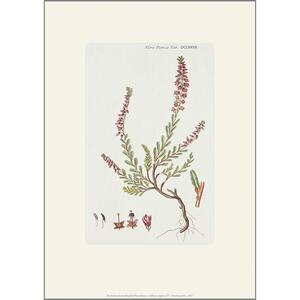 ART PRINT A4 - Heather (Calluna Vulgaris)