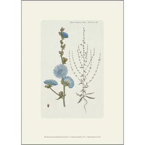 ART PRINT A4 - Common chicory - ONLY 6 LEFT ON STOCK