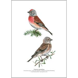 ART PRINT A4 - Common linnet