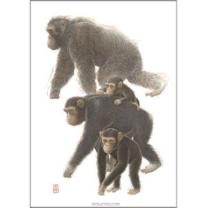 ART PRINT A3 - ZOO Chimpanzee