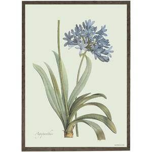 ART PRINT - Agapanthus - CHOOSE SIZE