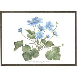 ART PRINT - Blue anemone - CHOOSE SIZE
