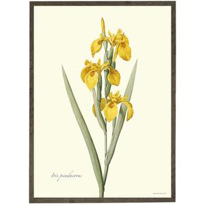 ART PRINT - Yellow iris - CHOOSE SIZE