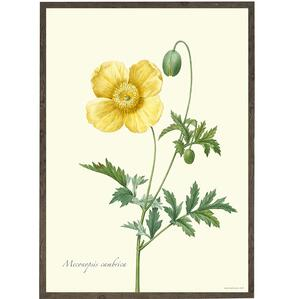 ART PRINT - Yellow poppy - CHOOSE SIZE