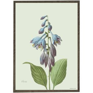 ART PRINT - Hosta - CHOOSE SIZE