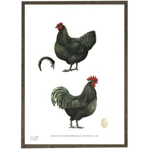 Australorps - CHICKENS - ART PRINT - CHOOSE SIZE