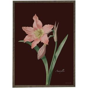 ART PRINT - Amaryllis rose/bordeaux