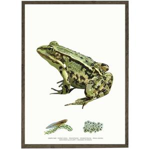 ART PRINT - Edible frog