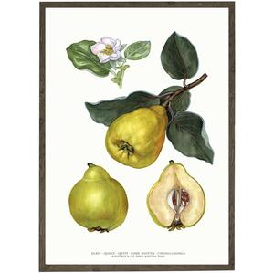 ART PRINT - Quince - CHOOSE SIZE