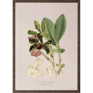 ART PRINT - Orchid Cattleya aclandie - CHOOSE SIZE