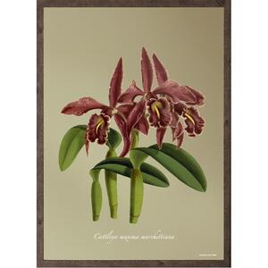 ART PRINT - Orchid Cattleya Maxima - CHOOSE SIZE