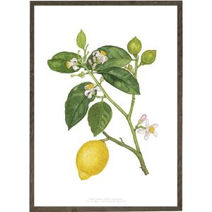 Lemon - ART PRINT - CHOOSE SIZE